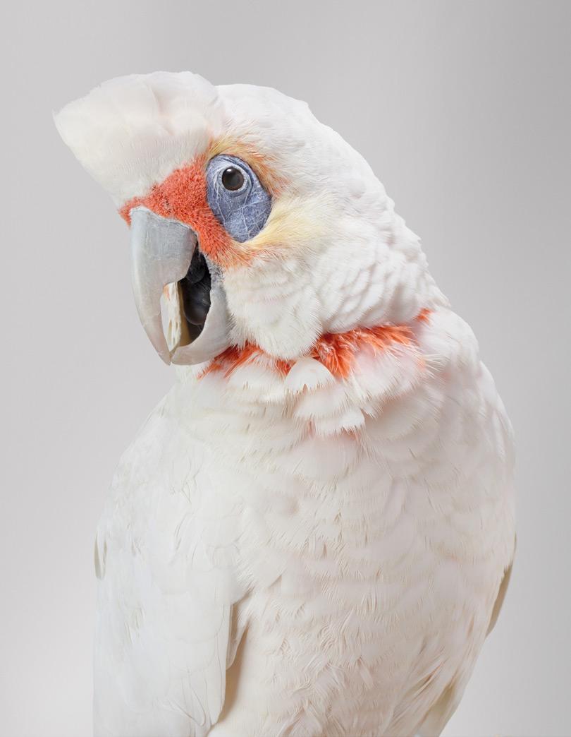 Портрет какаду
