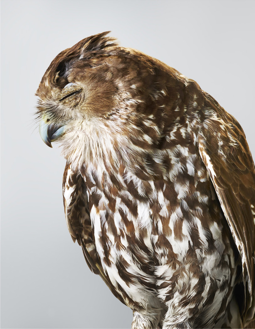 Портред редкой совы