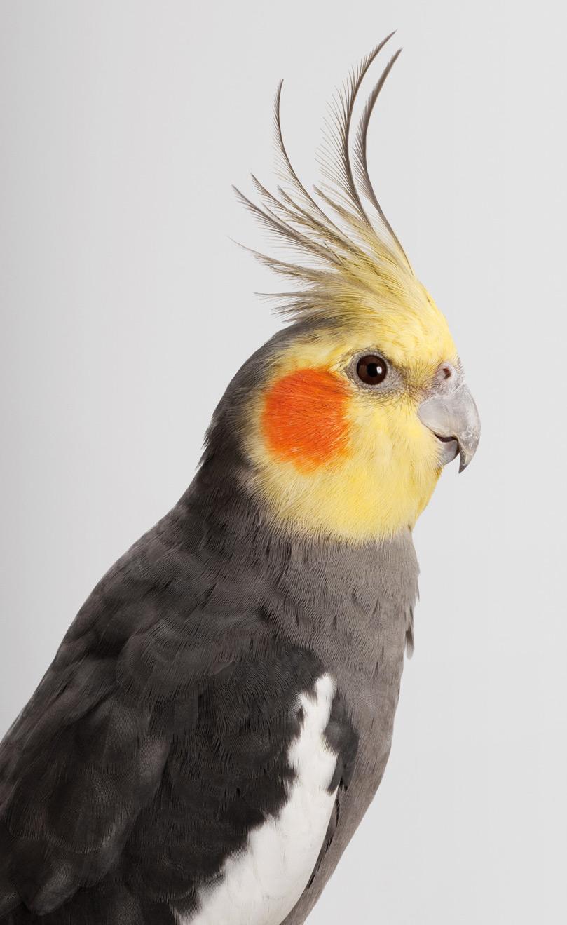 Портрет попугая с желтым хохолком