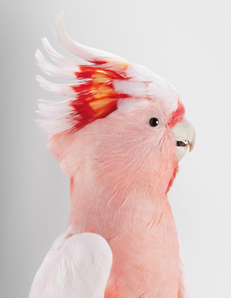 Портрет розового какаду