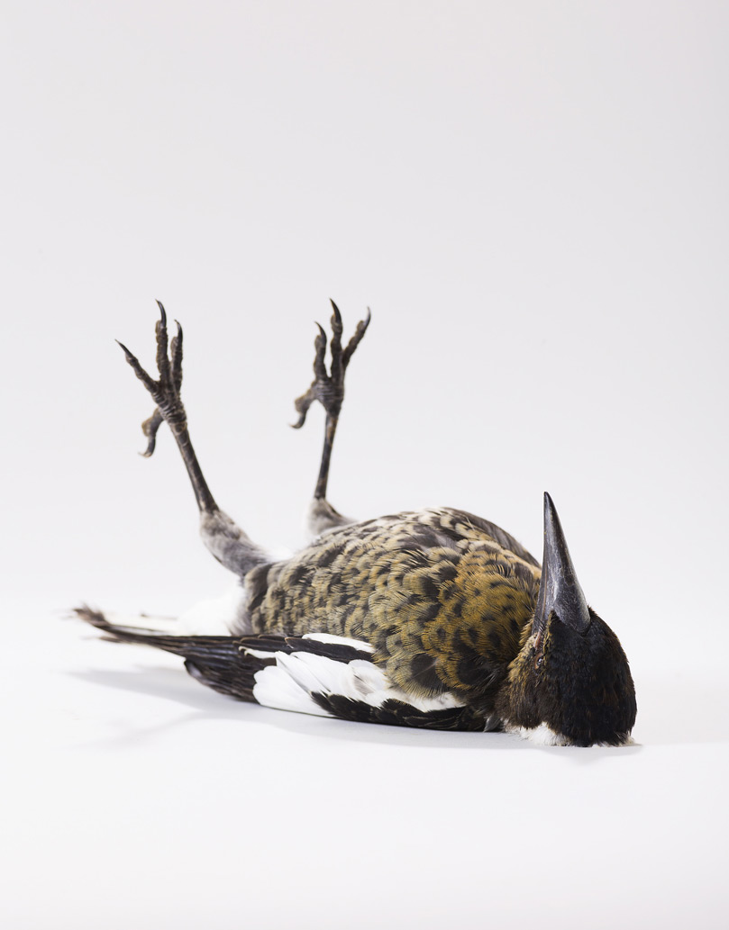 Портрет птицы в мертвом виде
