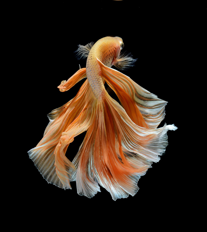 Красивая фотография рыбки Betta splendens от Visarute Angkatavanich
