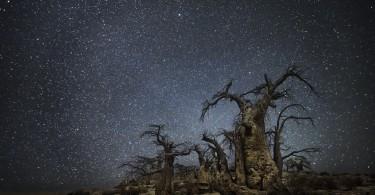 Бэт Мун: длинные тени от старых деревьев на фоне звёздной африканской ночи