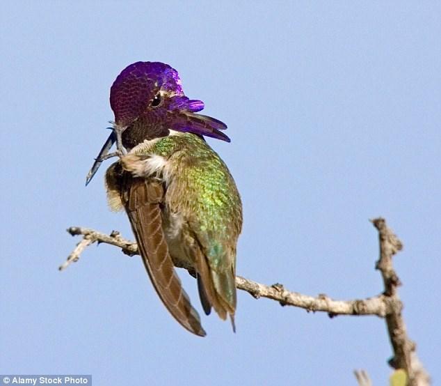 Fluff Pink Feathers: cuidando el colibrí Costa Calipus en un divertido video