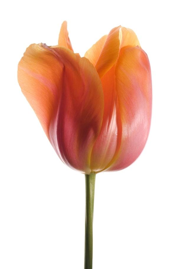 Раскрытый бутон тюльпана