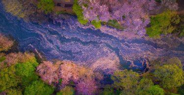 Цветение сакуры: узоры из нежных лепестков на фотографиях от Данило Данго