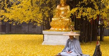Золотой ковёр из листьев гинкго в монастыре Гу Гуаньинь