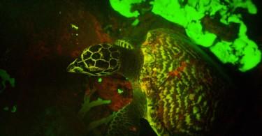 Дэвид Грубер: кадр видеосъёмки светящейся черепахи
