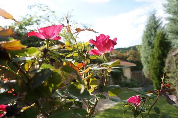 Кусты вьющейся розы в дизайне сада
