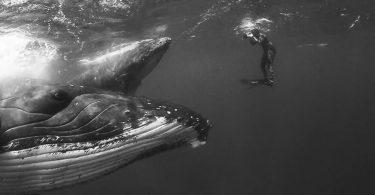 Джем Крессуэлл: подводная съёмка огромных и нежных горбатых китов