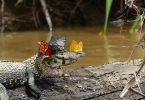 Бабочки и кайман: редкий кадр дикой природы Амазонии от Марка Коуэна