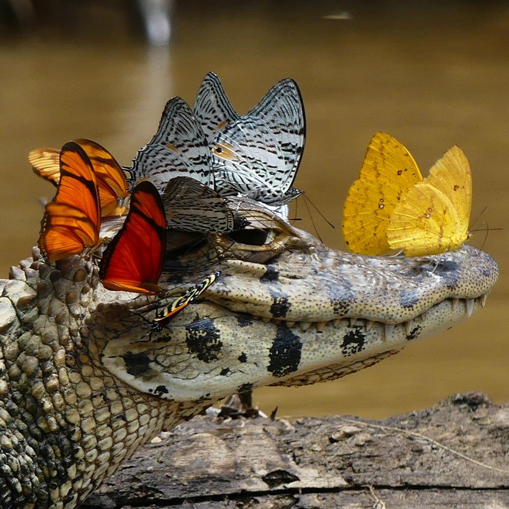 Un disparo raro de Mark Cowan: un caimán en una corona de mariposas vivas