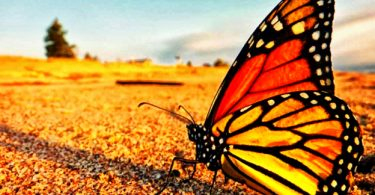 Бабочка Монарх: жизненные циклы насекомого