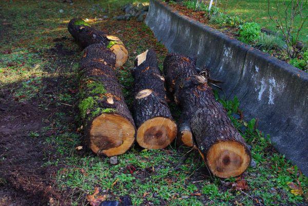 Срубленные стволы деревьев