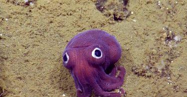 Подводная фотография забавной лиловой каракатицы от E/V Nautilus