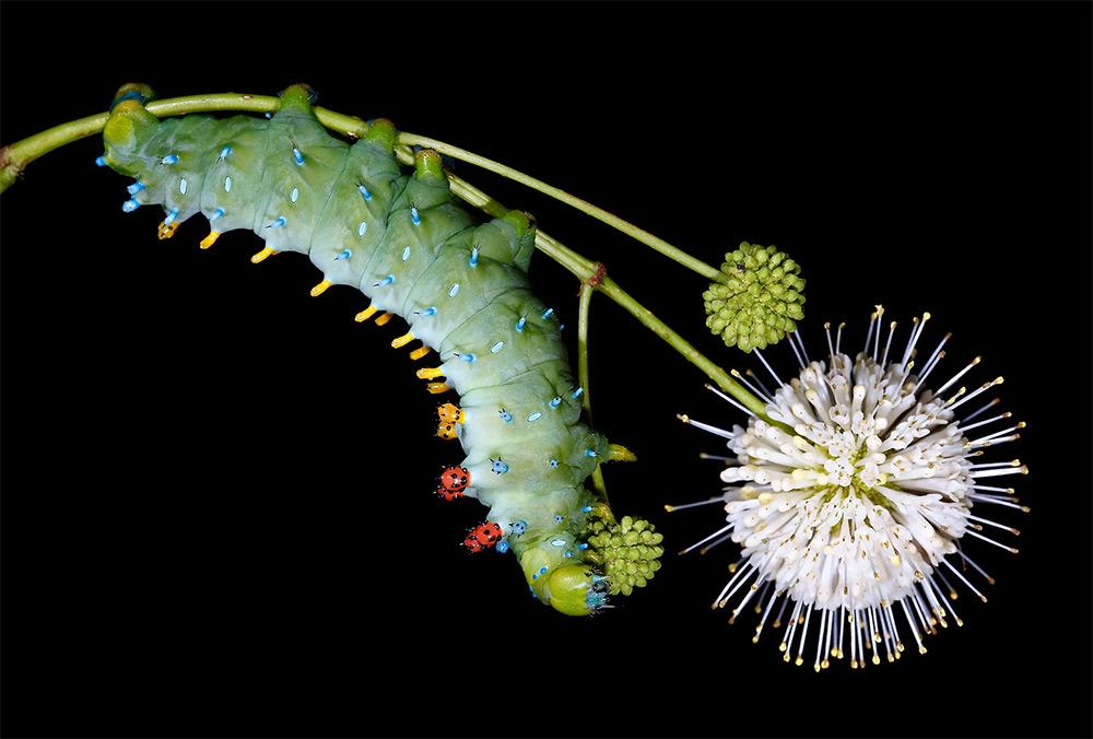 Фотографии живой природы от Самуэля Джаффе: разнообразие видов американских гусениц