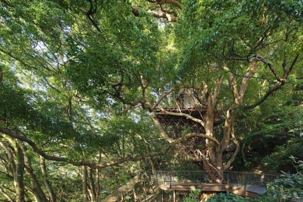 Чайная комната в виде птичьего гнезда на 300-летнем камфорном дереве