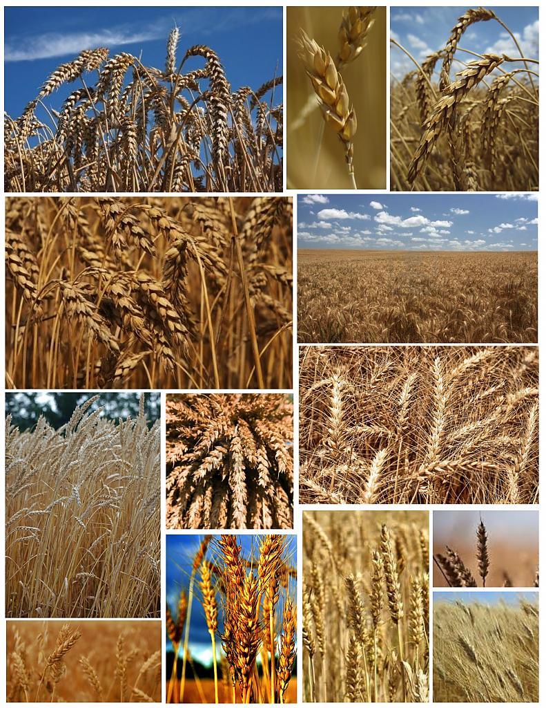 Высадка пшеницц